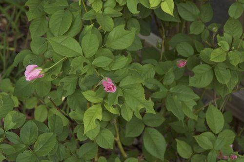 Bounceback roses