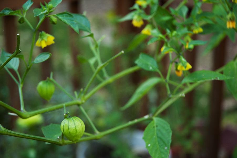 Wild Tomatillo Plant The Tomatillo Plant